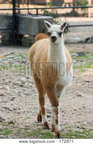 Llama Cub