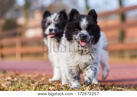 Two Elo Puppies On A Country Path