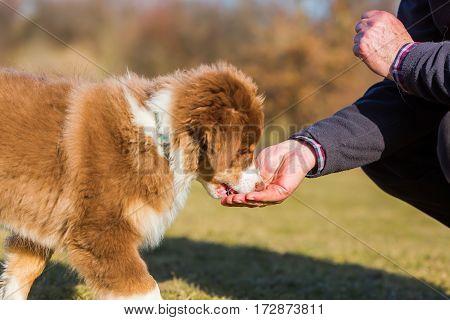 Australian Shepherd Puppy Gets A Treat