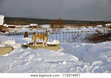 West Siberian Laika in winter village courtyard. Russia