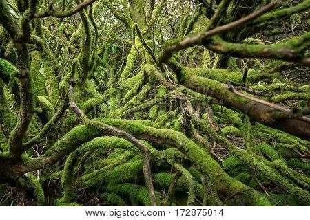 The gree hell. Mossy roots and trunks in a deep forest of Scotland.