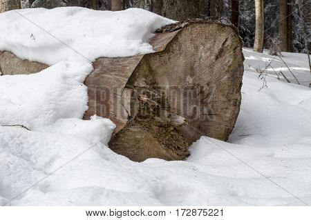 Old spruce felled trunk (Spruce felled giant)