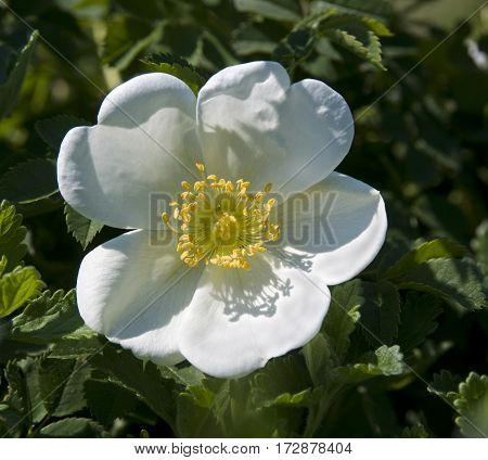 White wild rose against nature green leaves background. Flower - briar (Rosa canina).