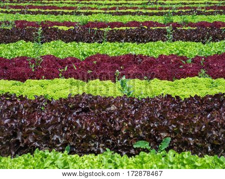 Charming lettuce field with graphical effect of rows and colors. Organic production of vegetables.