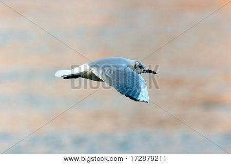 black headed gull in flight over water winter plumage ( Chroicocephalus ridibundus )
