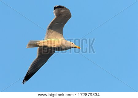close up of caspian gull in flight over blue sky ( Larus cachinnans )