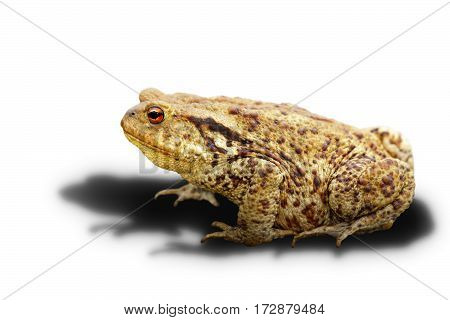 common toad on white background with shadow ( Bufo adult wild animal )