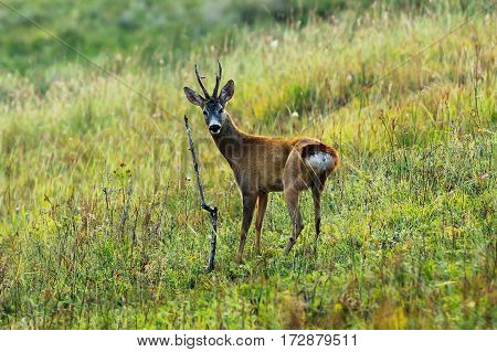 curious roe deer buck in mating season looking towards the camera ( Capreolus )