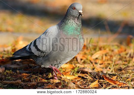 feral pigeon walking on faded leaves in the park ( Columba livia ) poster