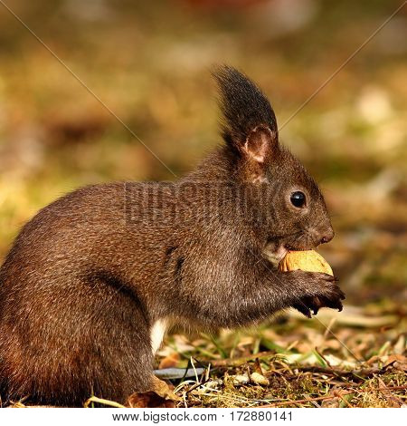 hungry squirrel eating nut cute wild animal living in urban parks and gardens ( Sciurus vulgaris )