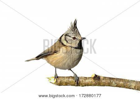 european crested tit perched on twig ( Lophophanes cristatus ) beautiful wild garden bird