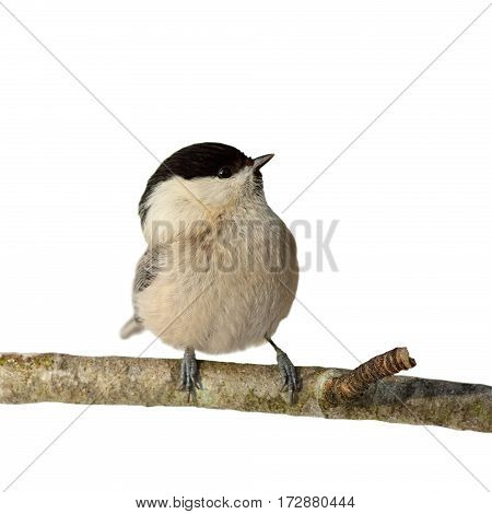 perched coal tit isolated on white background ( Periparus ater )
