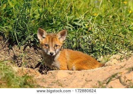 small european red fox cub in front of the den ( Vulpes )