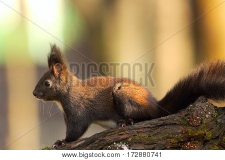 common red squirrel in the park ( Sciurus vulgaris )