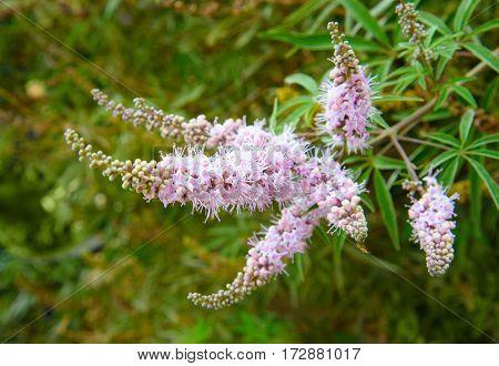 Vitex agnus-castus flower on the garden on green