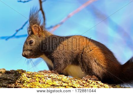 wild european red squirrel walking on a branch up in the tree ( Sciurus vulgaris )