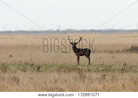 wild male fallow deer looking at the camera ( Dama )
