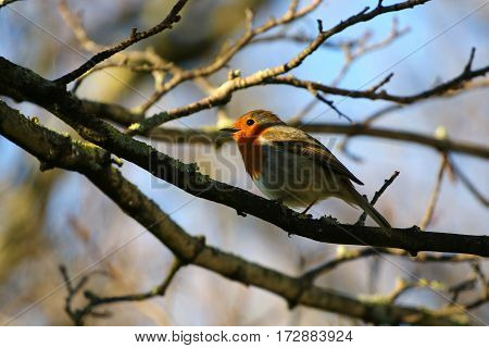 A robin singing in the sunshine on a tree branch