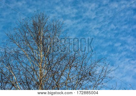 Bare crowns of trees in the forest the blue sky background