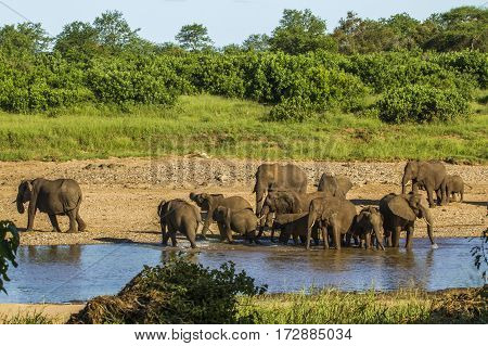 big group of elephants drinking in the riverbank in Kruger park, South Africa poster