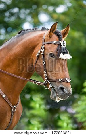 Bay polo pony close up portrate in traditional spanish decoration outdoor portrait on green background