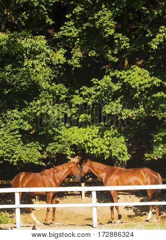 Pair of young brown horses behind white fence corral in summer sunny day. Horses kissing. Horse love