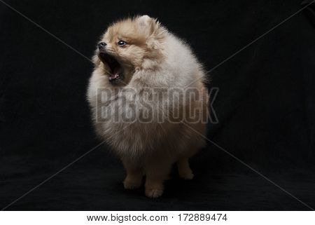 photo of pomeranian shpitz dog standing with open mouth on black background