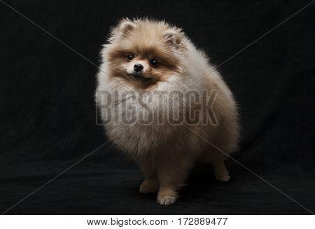 photo of pomeranian shpitz dog standing on black background