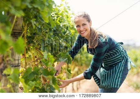 Portrait of young woman harvester working in vineyard