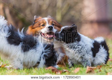 Elo Dog And Puppies Playing Outdoors