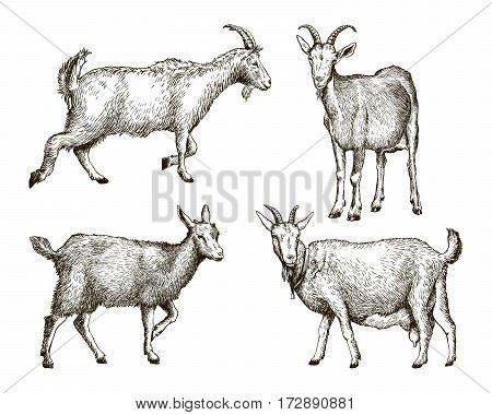 sketch of goat drawn by hand on a white background. livestock. animal grazing