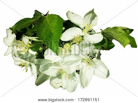 apple flowers in spring on a white background