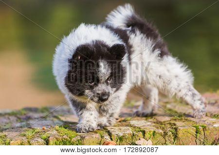 Elo Puppy Walking On A Brick Wall
