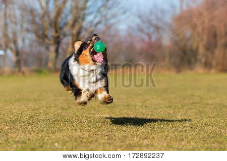 Australian Shepherd Jumping For A Ball