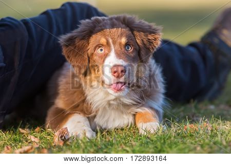 Australian Shepherd Puppy Looks Up