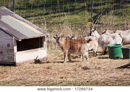 Herd Of Goats.