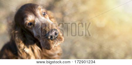 Nose of a beautiful old Irish Setter dog