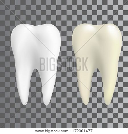 Realistic teeth in two colors white and natural. Poster Transperent tooth Icon.