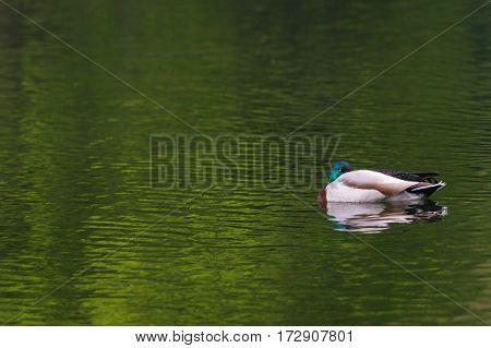 Close-up of a floating duck. Mallard duck