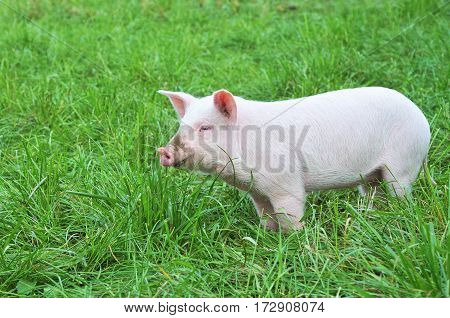One small pig on a green grass.