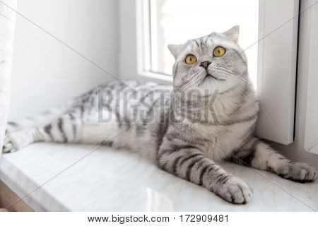 beautiful striped purebred cat Scottish Fold resting on the window