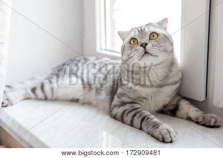 beautiful striped purebred cat Scottish Fold resting on the window