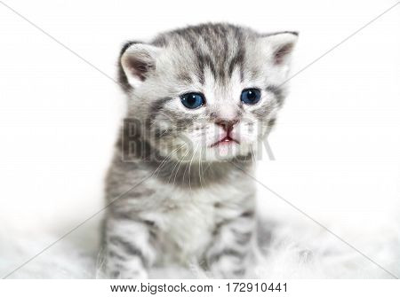 Kitten with blue eyes. Cute gray striped purebred kitten.