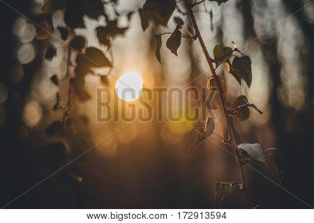 Forest with ivy. Sunset silhouette. Spring time