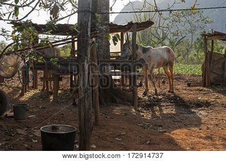 white horse in village of Havana city in Cuba, 2016.