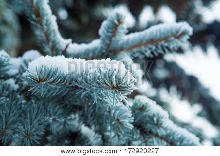Blue spruce covered with frost and snow background