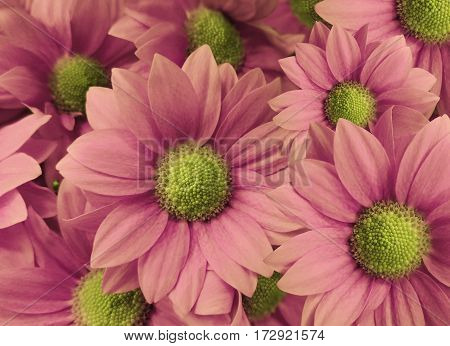 Flowers Daisies pink. close-up. floral collage. Spring composition. Nature.
