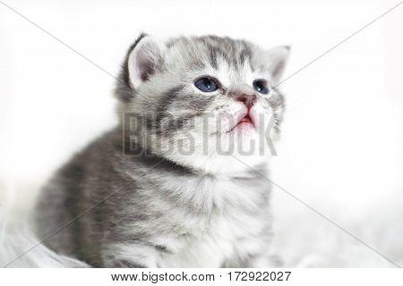 Portrait of a beautiful baby kitten with blue eyes. Grey tabby kitten color