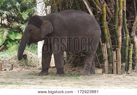 photo of a very happy young Asian elephant