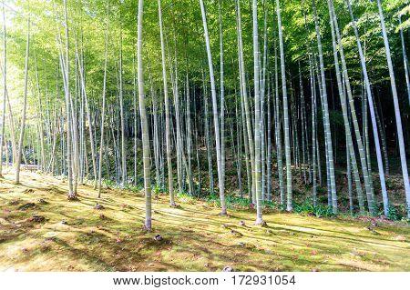 Bamboo forest in Japan Arashiyama Kyoto, Japan
